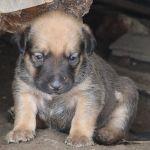 Puppie bruin van de kleine hond