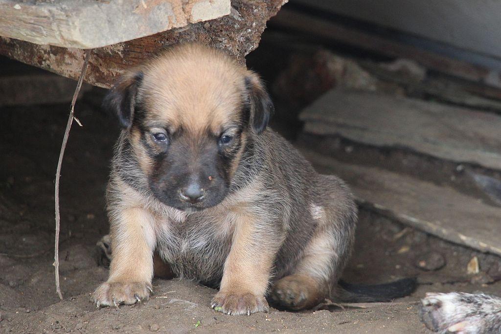 Bruin puppy kleine hond - 1 dec 2015