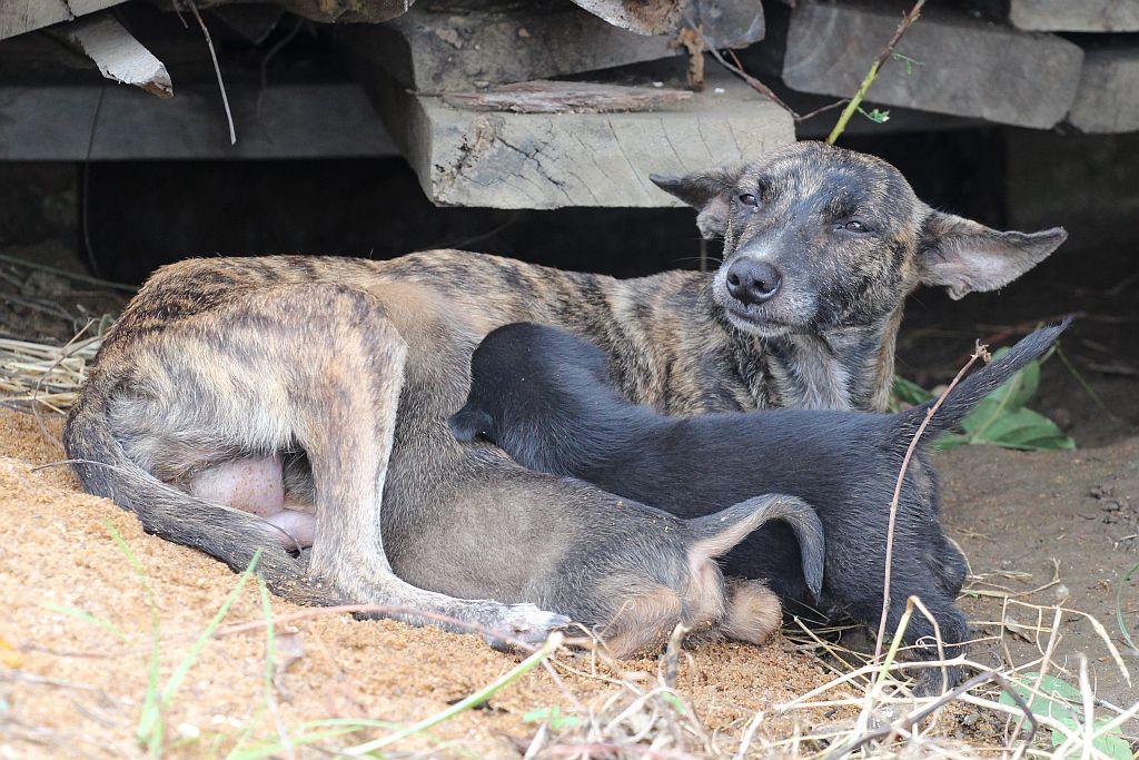 Grijze hond zoogt haar twee puppy's - 2 dec 2015