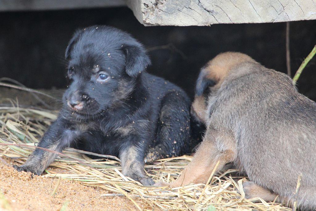 Zwart puppy van grijze hond - 2 dec 2015