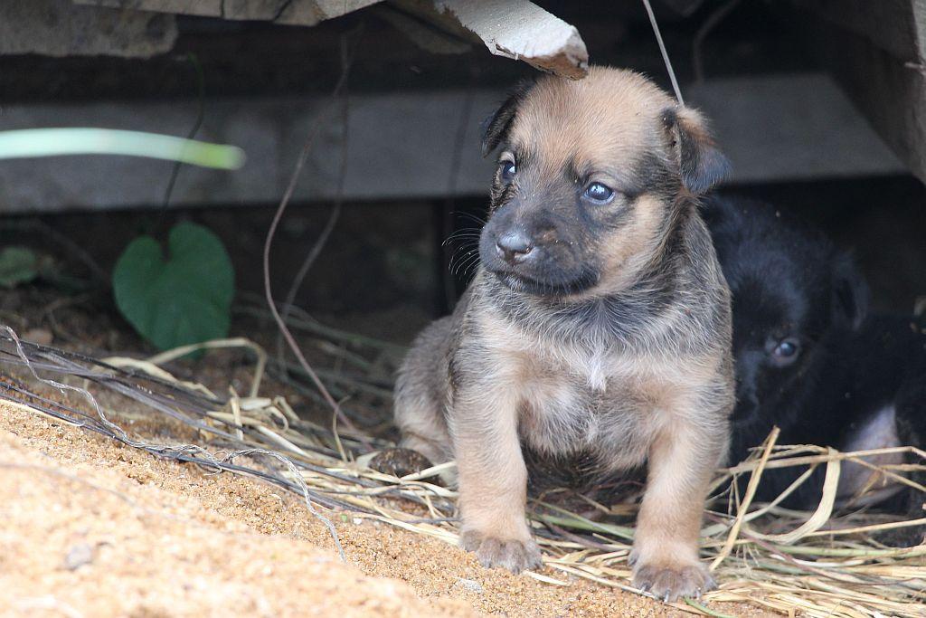 Bruin puppy van grijze hond - 2 dec 2015