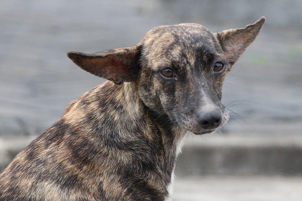 Grijze hond - de moeder