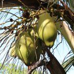 Kokosnoten in de tuin bij Bakkie